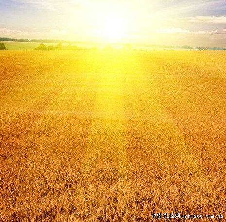 小麦籽粒胚的纵切结构简图